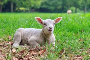 lingua di agnello foto