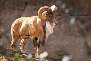 pecora bighorn foto