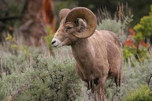 pecore bighorn in montagna foto