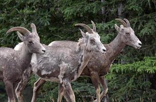 tre pecore bighorn
