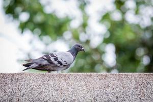 piccione nel parco foto