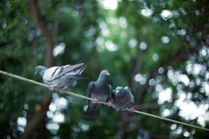 piccioni foto