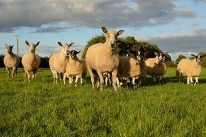 pattuglia di pecore