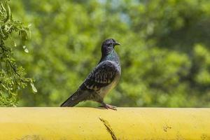 piccione selvatico