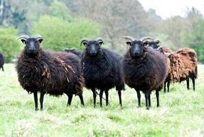 pecore Hebridean foto