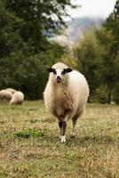 pecore su un prato foto