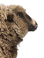 primo piano di incrocio pecore, guardando lontano. foto