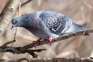 columba livia, piccione selvatico. foto