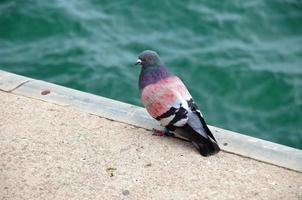 piccione etichettato e dipinto sul bordo del porto foto