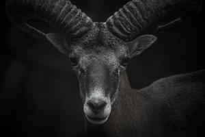 Ritratto di muflone di Cipro foto