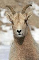 pecora bighorn - ritratto mosso dal vento foto
