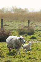 agnello e madre pecora foto