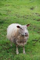 pecore in prato verde foto