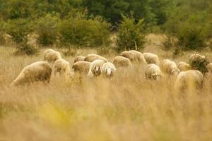 gregge di bestiame sul prato foto