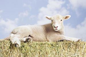 agnello sdraiato sul fieno contro il cielo foto