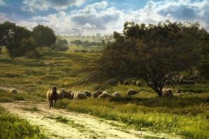 pecore al pascolo in un campo verde foto
