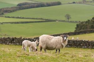 pecora al pascolo con agnelli foto