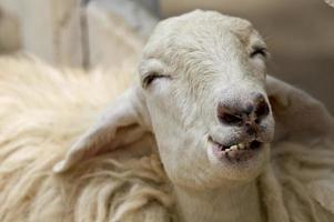 primo piano del belare delle pecore bianche foto