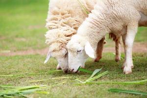 le pecore bianche mangiano cibo verde erba foto