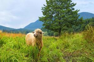 pecore in un paesaggio estivo foto