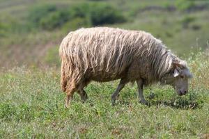 pecore al pascolo sul prato verde foto
