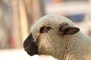 vista laterale di agnello bianco foto