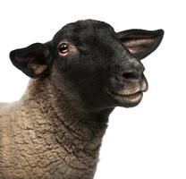 femmina di pecora suffolk, ovis aries, 2 anni foto