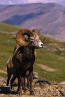 ram delle pecore Bighorn gigante foto