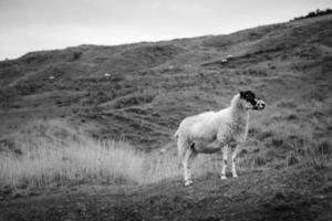 pecore al pascolo su una collina
