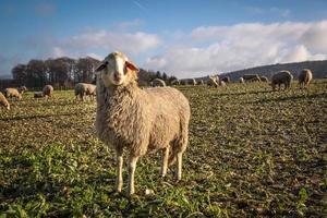 gregge di pecore sui monti taunus foto