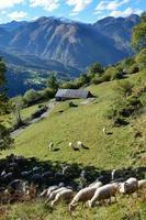 gregge di pecore nei Pirenei autunnali