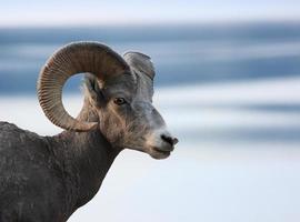 testa di pecora bighorn foto