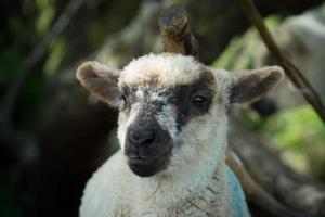 agnello in primavera foto