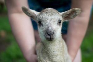 ho avuto un agnellino foto