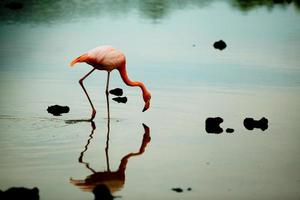 flamigo rosa delle galapagos che si alimenta in uno stagno di sale foto