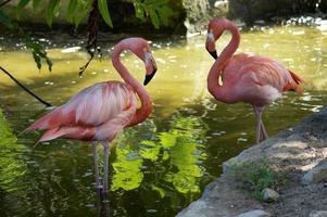 coppia fenicottero rosa, sfondo di palude tropicale foto