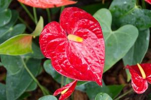 fiori di fenicottero in giardino con sfondo di natura foto