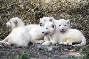 cuccioli di leone bianco foto
