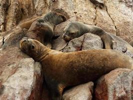 leoni marini assonnati foto