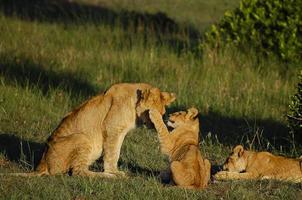 masai mara: kenia foto