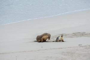 leone marino australiano neonato sul fondo della spiaggia sabbiosa foto