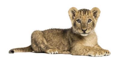 vista laterale del cucciolo di leone sdraiato, guardando la telecamera