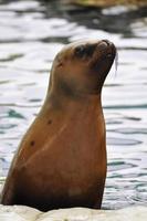 Leone marino foto