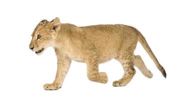 cucciolo di leone (4 mesi)