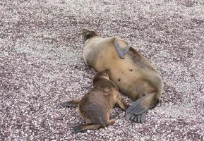 baby galapagos allattamento leone di mare