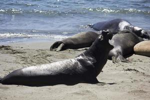 leoni marini sulla spiaggia foto