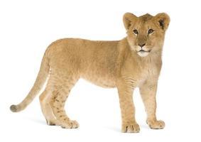 cucciolo di leone (6 mesi)