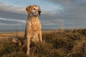 golden retriever a sunup foto