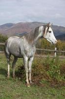 simpatico stallone arabo grigio