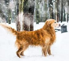 red retriever